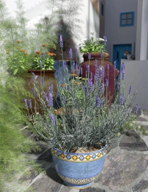 Garden Flowers – Lavender Bushes